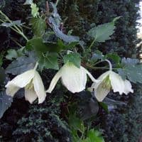 Clematis Jingle Bells